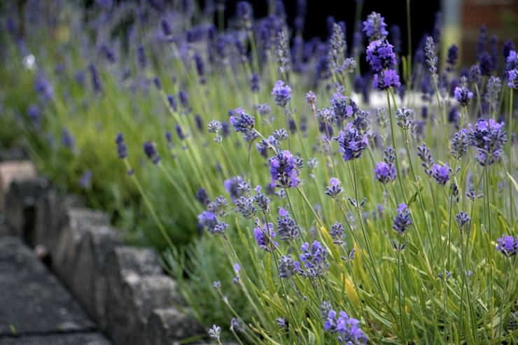 Lavender 2014