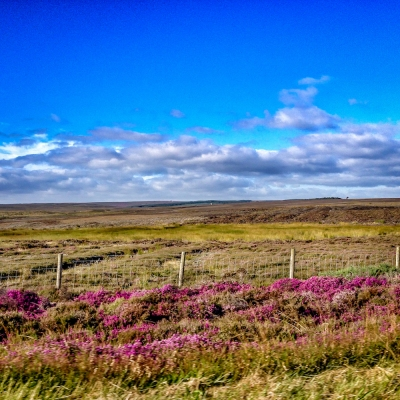 Heather on North York Moor