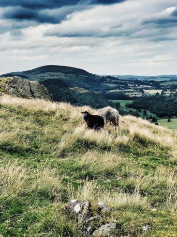 Newborn Herdwick lamb