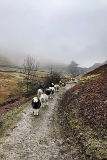 Welcoming sheep at the gate of Ghyll Foot